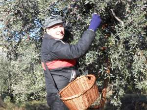 Olive harvest December 2013 in Piegon, Drome Provençale, near Nyon2