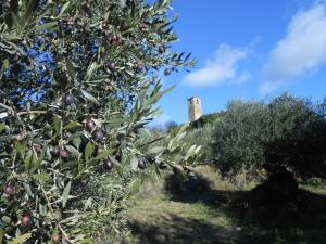 Olive harvest December 2013 in Piegon, Drome Provençale, near Nyon5