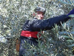 Olive harvest December 2013 in Piegon, Drome Provençale, near Nyon6