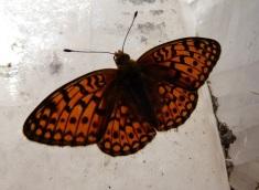 butterflyfald