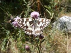 butterflyschachbrett